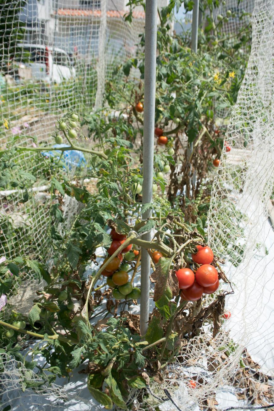 トマト 枯れる ミニ 葉 下 の