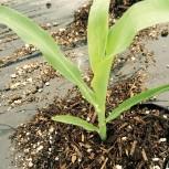 20150429トウモロコシ、茄子の定植
