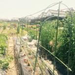 20150502  トマト屋根、トウモロコシ防虫ネットハウス設営