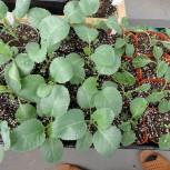 2015年秋冬野菜の苗8月14日現在