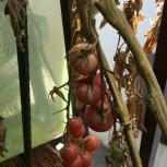 2016トマト達