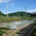 矢口浦:5月畑の様子