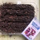 エンドウ豆(ツタンカーメン)