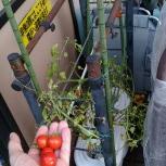 こいまるミニトマト
