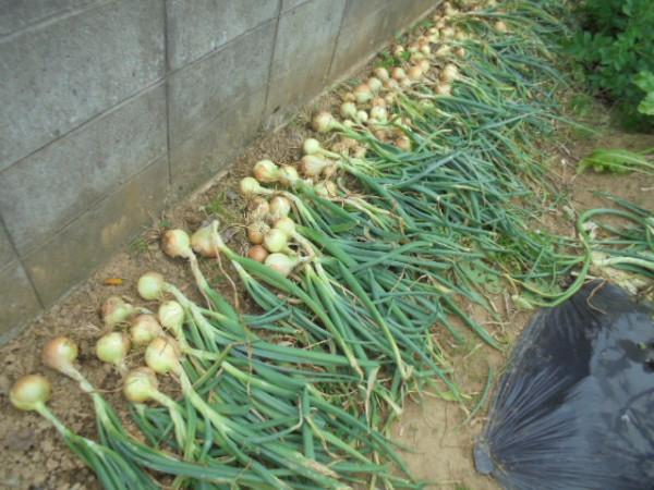 植え付け 玉ねぎ 時期 の タマネギの育て方〜地域ごとに適した栽培方法を解説!|玉ねぎの教科書