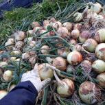 2021 玉葱収穫