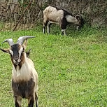 クラインガルテンの山羊達