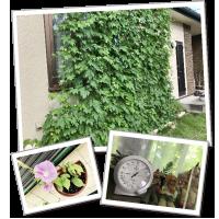 野菜生活さんのグリーンカーテン